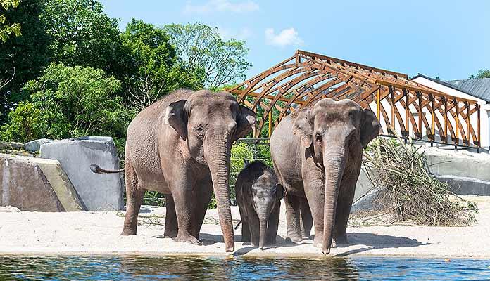 asian elephants artis