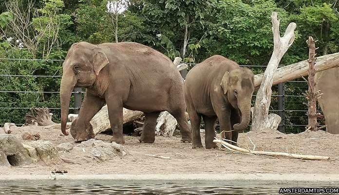 artis zoo amsterdam elephants
