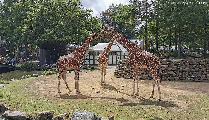 artis zoo amsterdam giraffes