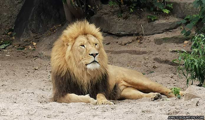 artiz zoo amsterdam lion